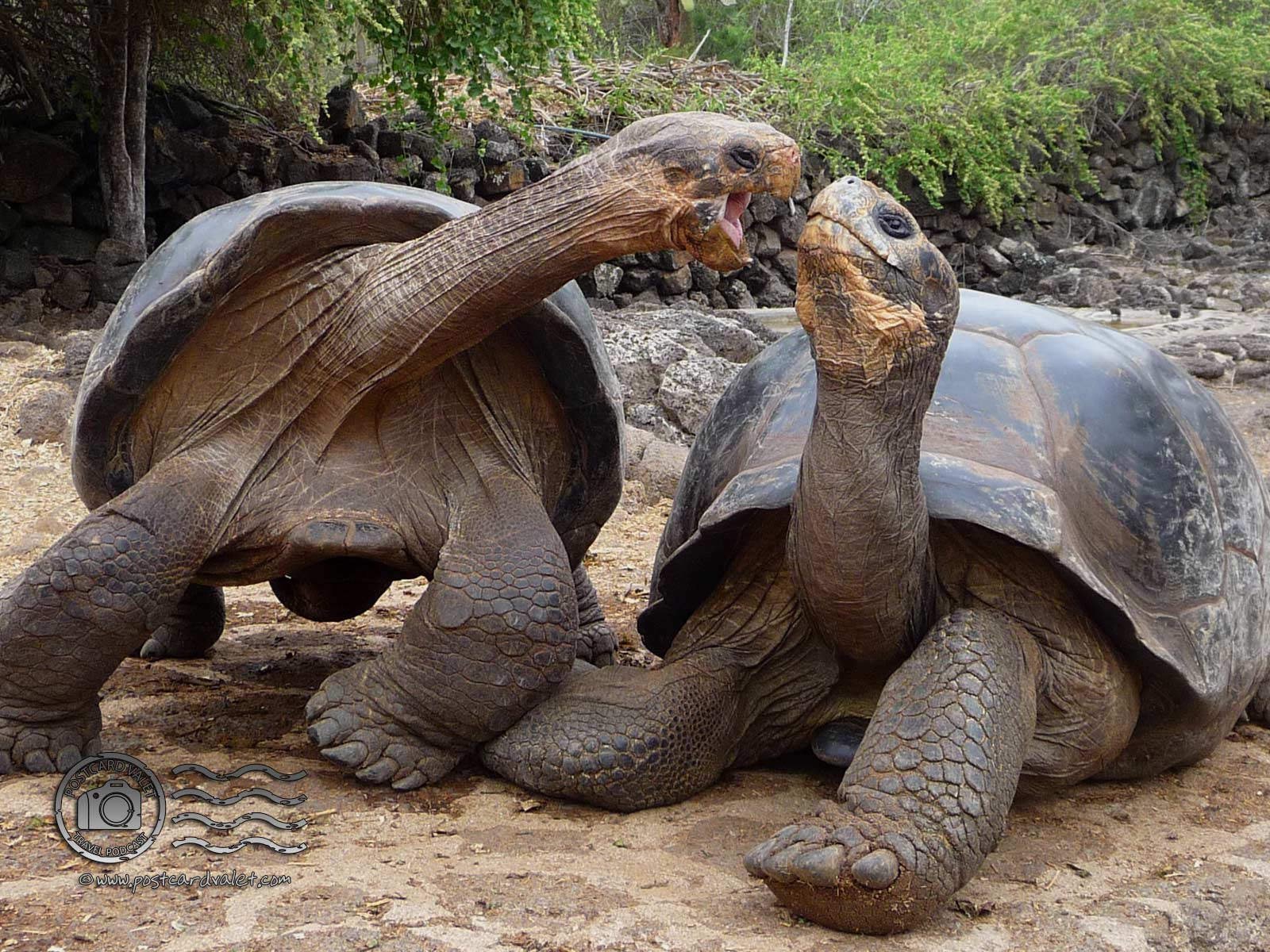 Fight of Tortoises