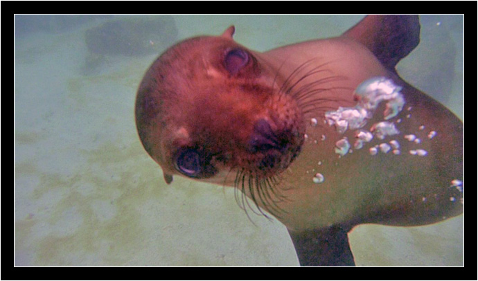 Video framegrab of sea Lion under water