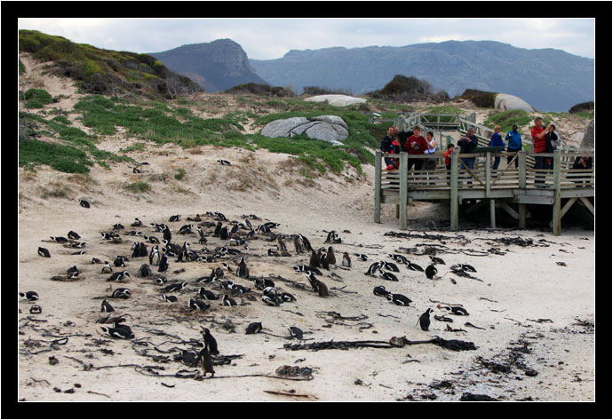 The African Penguin colony